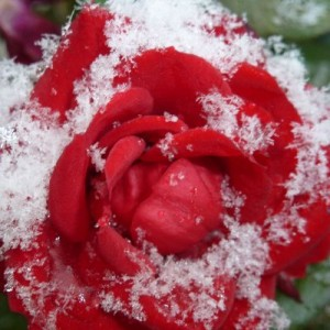 snow rose medium